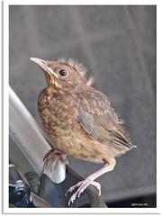 Gestatten: Nestflüchter Punk - allow me to introduce myself: precocial  bird Punk
