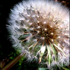 Dandelions up close at this stage always remind me of fireworks.