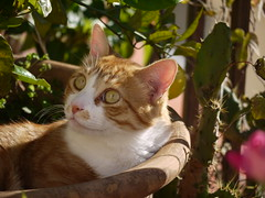 Ficelle. Again. (Benissiva Calling (sparing eyes )) Tags: rose cat panasonic gato flowerpot orangetree naranjo kissablekat 45200mm dmcg1