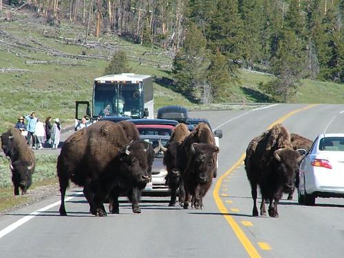 Bison要過馬路停車歐!