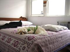 IMG_3733_1.JPG (Chiptography) Tags: dog marzipan maltzu