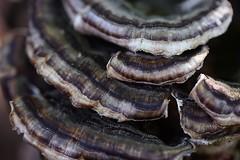 Abstract fungus (Mary Susan Smith) Tags: macro fungus earthtones challengeyouwinner 3waychallengewinner cychallengewinner photofaceoffwinner photofaceoffsilvermedal naturewatcher pfosilver