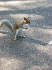 Flex the Squirrel (historygradguy (jobhunting)) Tags: cute muscles animal boston ma squirrel funny massachusetts newengland urbannature thumbsup mass flexing gunshow twothumbsup bigmomma supershot 25faves challengeyouwinner abigfave platinumheartaward thumbsupwinner hulksquirrel