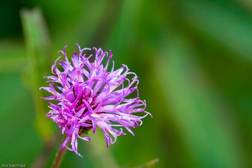 Red Milkweed Flower (Asclepias rubra)