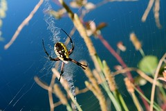 A new friend (midnight_adieu) Tags: black yellow river spider scary creepy longlegs ohshitaspider