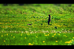 Afternoon Walk (KY-Photography) Tags: ca flowers woman dog ontario canada green field grass yellow nikon focus dof bokeh walk ky candid guelph nikkor khalid allrightsreserved kal uog d80 nikond80 70300mmf4556gvr kyphotography