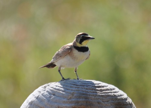 Horned Lark two