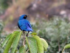 Greater blue-eared Glossy  Starling (Linda DV) Tags: africa travel bird geotagged lamprotornis ethiopia 2010 passeriformes lamprotornischalybaeus sturnidae bluenilefalls tisissat blueearedstarling lindadevolder