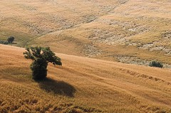 Lone tree (Massimo Pelagagge) Tags: italy landscape landscapes bravo italia explorer campagna tuscany crete campo toscana valdorcia toscane soe paesaggio italians toskana tuscan lanscapes naturalmente italianlandscape senese beautifullandscapes 10faves flickrsbest paesaggiotoscano italylandscapes holidaysvacanzeurlaub italylandscape bravodenybyadmin paesaggiotoscana massimo1959 paesaggitoscani tuscanylandscape finestofvaldorcia tuscanylandscapes italyphotography massimopelagagge tuscanyphotos paesaggitoscana tuscanyphoto landscapeofitaly landscapeinitaly landscapeofthetuscany tuscanylandscapeitaly tuscanyitalypictures tuscanyphotography paesaggiotuscano