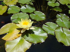 yellow water lily - by Martin LaBar