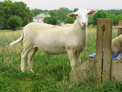 Structurally-correct ewe lamb