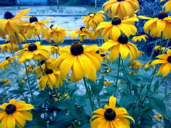 Yellow flowers (Rudbeckia, coneflower) (yancunyong) Tags: plant flower yellowflower coneflower rudbeckia magical n73
