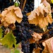 Ledson Winery-Pinot Noir soon to be