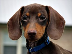 Precious Puppy (Jen Armstrong Photography) Tags: dog baby brown nature canon puppy outdoors hotdog close zoom sweet linus dachshund powershot short s3is naturesbabies naturesexquisite