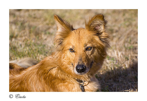 Adivina la raza del perro 1152591944_d19cb4c238