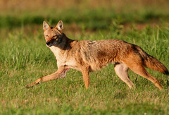 Coyote at Sunset (Hard-Rain) Tags: coyote nature mammal illinois wildlife predator plainfield naturesfinest explore5 shieldofexcellence