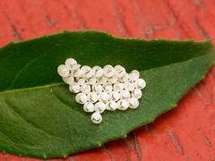 Eggs on a Leaf - Brown Marmorated Stink Bug Eggs (PuffinArt) Tags: white macro branco closeup lumix panasonic eggs puffinart fz30 ovos insecteggs dcr250 raynox vandamalvig tinyopeneggs eggsonleaf