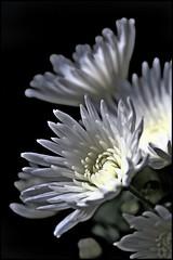 dahlia HDR (*Melody*) Tags: dahlia flowers white hdr blueribbonwinner mywinners aplusphoto flickrbest onlyyourbestshots photofaceoffwinner pfogold