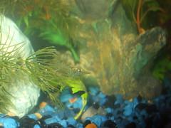 DSCF0182 (oakswflyer) Tags: aquarium angelfish tropicalfish ghostshrimp neontetra platys corycatfish 10galtank