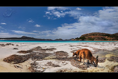 Beach Bums... (Chantal Steyn) Tags: ocean blue sea holiday seaweed tourism beach water animal landscape bay coast nationalpark nikon aqua waves australia kangaroo nikkor marsupial westernaustralia seagrass d300 capelegrand nohdr 1685mm turrqois