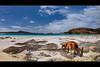 Beach Bums... (Chantal Steyn) Tags: ocean blue sea holiday seaweed tourism beach water animal landscape bay coast nationalpark nikon aqua waves australia kangaroo nikkor marsupial westernaustralia seagrass d300 capelegrand nohdr 1685mm turrqois