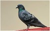 Blue Rock Pigeon (Naseer Ommer) Tags: bird aves columbalivia feral columbiformes bluerockpigeon naseerommer dpintl discoverplanetinternational