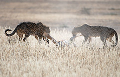 Cheetahs Hunting, Kgalagadi TP June 2010