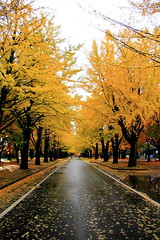 lined with ginkgo trees :   #4 (Takeshi Kawai) Tags: autumn trees eos ginkgo sapporo      lined  40d