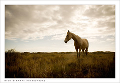 Shimmer (~* Rae Rae *~) Tags: sunset copyright horse grass afternoon australia wa westernaustralia exmouth shimmer longgrass raethrenoworthphotography blueelementphotography raethrenoworth blueelement