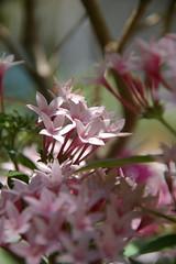 中央、4弁花