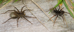 """Male and Female Wolf Spider (Pardosa sp.) • <a style=""""font-size:0.8em;"""" href=""""http://www.flickr.com/photos/57024565@N00/598280459/"""" target=""""_blank"""">View on Flickr</a>"""