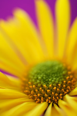 Happy Daisy (DenisBouchard) Tags: orange white flower macro green nature yellow purple vivid coolest zzz bouchard flowerotica 25faves ysplix macromarvels denisbouchard