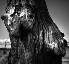 3 souls 1 (dead?) tree (camera stu) Tags: old 3 tree texture souls dead death 1 weird australia bark nsw forms demons drylakebed onetreethreesouls
