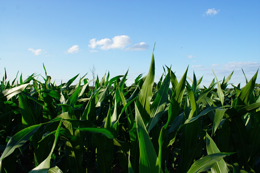 Corn & Sky