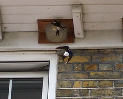 House Martins in Rotherhithe Village