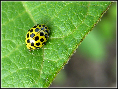 yellowLadybird copy