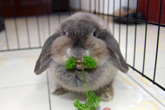 Andora the parsley monster 1 (jade_c) Tags: pet rabbit bunny animal mammal singapore parsley opal  hollandlop andora  lagomorph opalhollandlop englishparsley parsleymonster