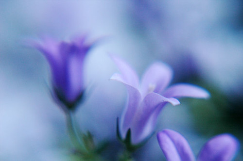 Campanula (indoor plants) (by AlexEdg)