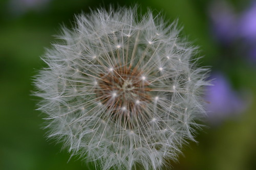 Dandelion with purple in the Background