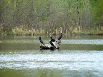 Cormorants Sun Bathing