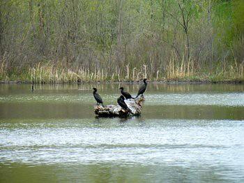 Cormorants Sun Bathing
