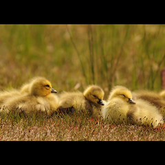 the peace of wild things (anniedaisybaby) Tags: nature geese spring pond kate manitoba goslings wetlands spencer waterfowl gimli brantacanadensis canadageese interlake wendellberry pondlife thepeaceofwildthings magicunicorntheverybest magicunicornmasterpiece