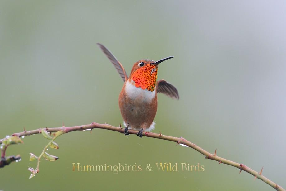 Allen's Hummingbird 102010-3