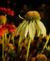 Coneflower Homework (durtcom) Tags: flowers plants photoshop garden gardening coneflower day6 canonpowershots3is kimklassen skinnyminiecourse