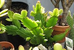 Thanksgiving Cactus/Schlumbergera Truncata