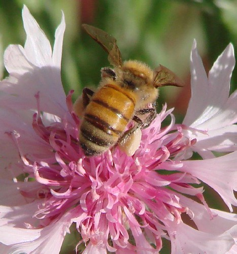 "bee in flower • <a style=""font-size:0.8em;"" href=""http://www.flickr.com/photos/10528393@N00/530142788/"" target=""_blank"">View on Flickr</a>"