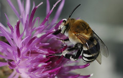 Centaurea (David Lev) Tags: plants flower bravo purple insects bee bloom mygarden soe peopleschoice naturesfinest blueribbonwinner thebestbravo bigheart nirim magicdonkey instantfave flickrsbest mywinner shieldofexcellence impressedbeauty aplusphoto 1on1allbugs superbmasterpiece goldenphotographer diamondclassphotographer flickrdiamond