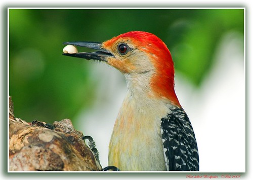 A Natural Beauty   ~~Red-bellied Woodpecker