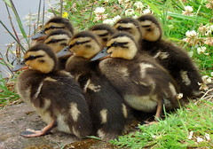 Ducklings - by countrygirlatheart