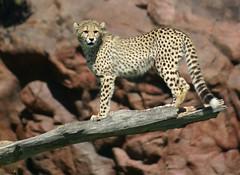 one more look (conwest_john) Tags: jesters cheetahcub blueribbonwinner supershot abigfave impressedbeauty conwestjohn onlythebestare